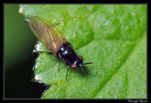 Lauxania cf. cylindricornis