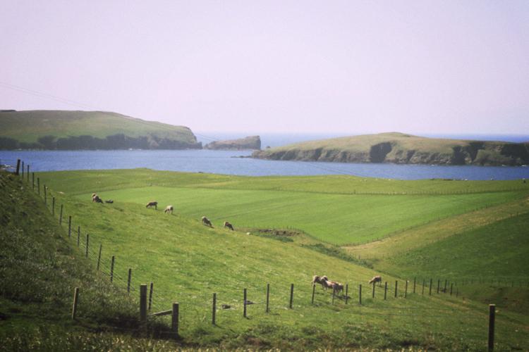 shetland sheeps