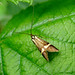 Small photo of Longhorn .Adelidae. Nemophora degeerella.