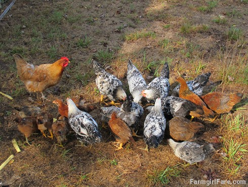 (21-2) Lokey and a lot of big chicks, including some of her second spring hatch of 10 babies - FarmgirlFare.com