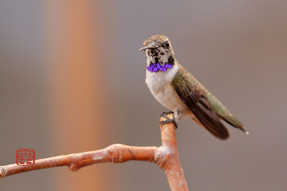 immature male Black Chinned Hummingbird 040812-2