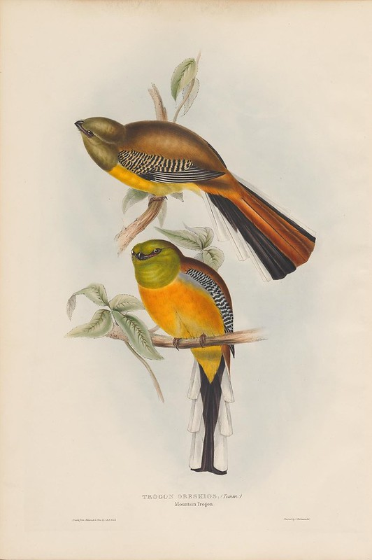 19th century ornithological lithograph by John Gould