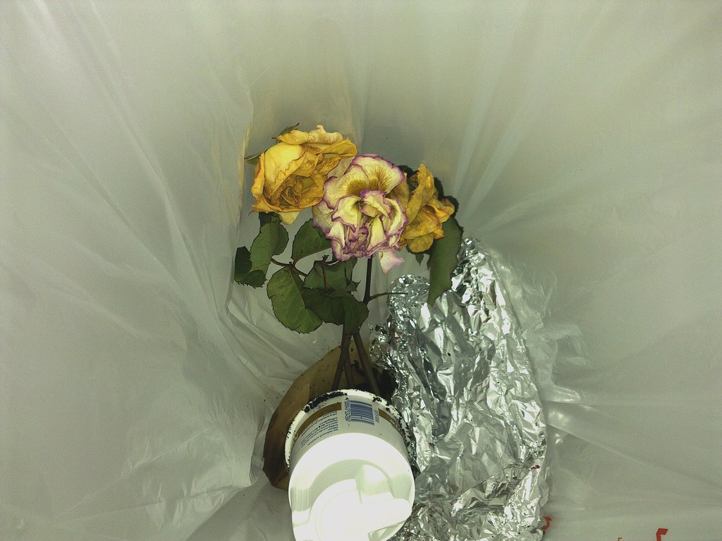 Rosen im Müll - Roses in the Dustbin