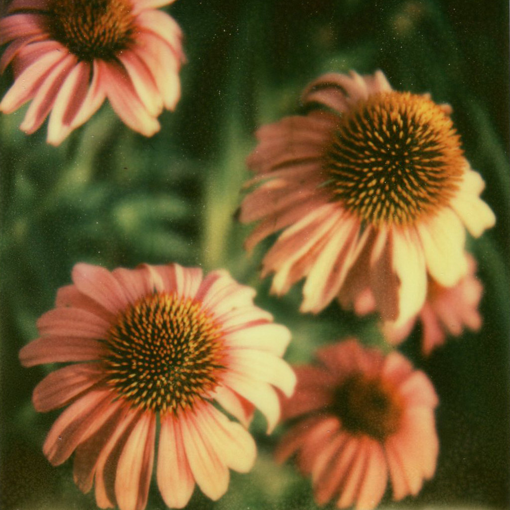 pink flowers px70