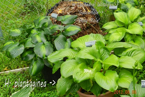H. plantaginea is the species hosta