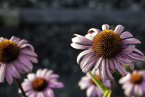 coneflowers... by credd