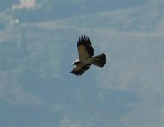 Booted Eagle 4