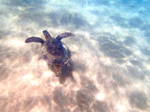 Sea Turtle, Maui