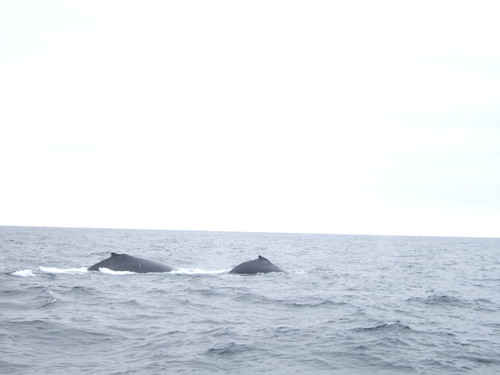 On our whale watching trip, we saw these whales! Even though they look small in the photo, they were actually huge!
