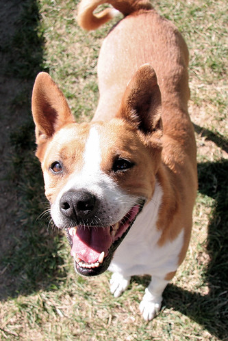 17 August 2012 Yachtz, adoptable Basenji mix