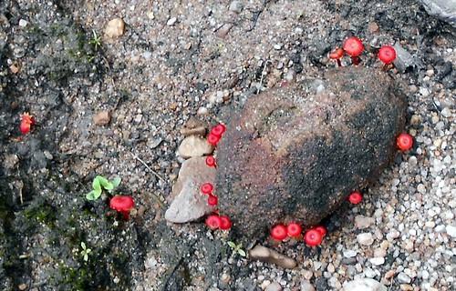 פטריות אדומות זעירות