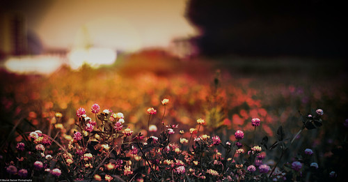 light sunset red summer orange plant flower tree green nature field grass photoshop canon project eos rebel 50mm austria europe dof sundown blossom bokeh f14 meadow days depthoffield adobe bloom late 365 dslr 550d t2i itslegitx