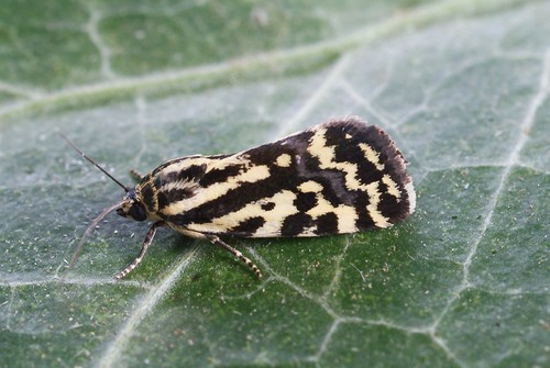 Spotted Sulphur (Emmelia trabealis)