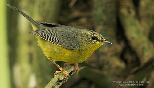 Golden-crowned-Warbler9369
