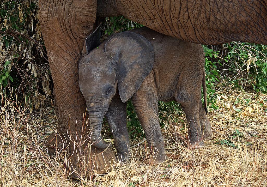 Baby elephant with Mum