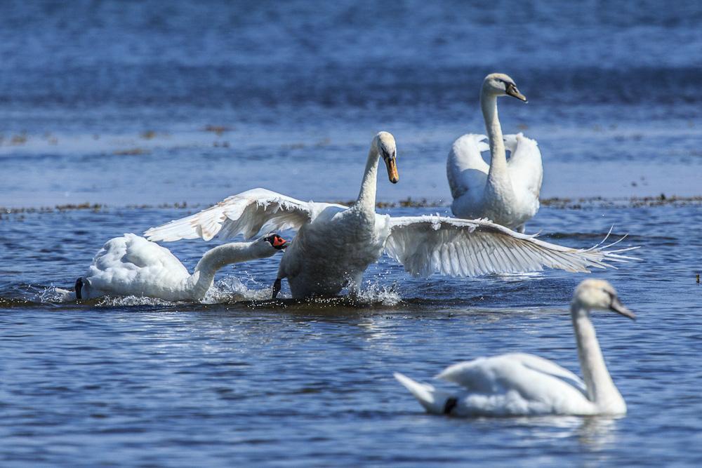 Birds of Bornholm:  Swan ATTACK