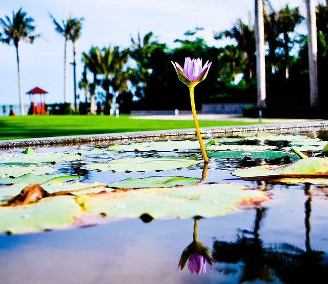 Water surrounds the lotus