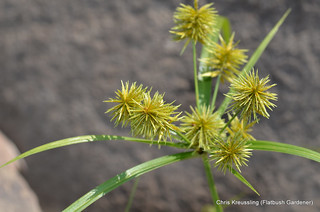 Cyperus strigosus, Umbrella Sedge