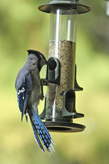 Baby Blue Jay (Cyanocitta cristata)