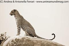 Sri Lankan leopard Panthera pardus sub. kotiya