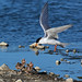 Lunch is coming! Forster's Tern and chicks by Ho's Photog