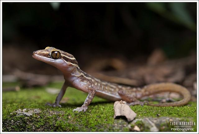Cortydactylus phetchaburiensis