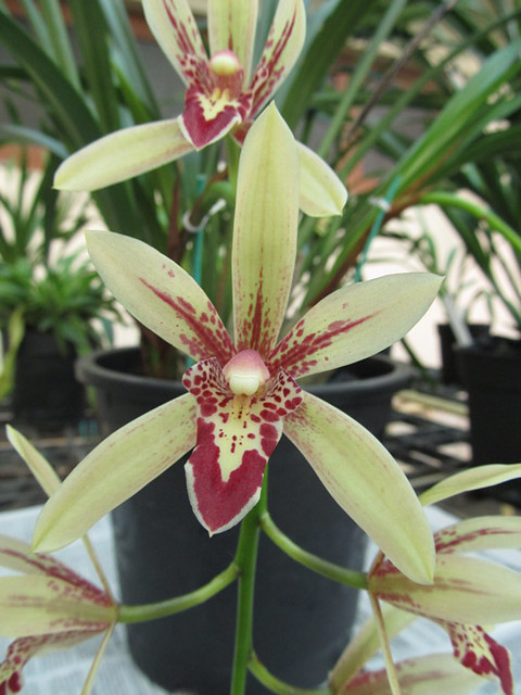 Cymbidium Lilliput