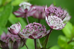 ASTRANTIA major 'Can Candy'