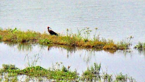 park india black bird sony cybershot ibis national westbengal h50 rednaped papillosa pseudibis garumara