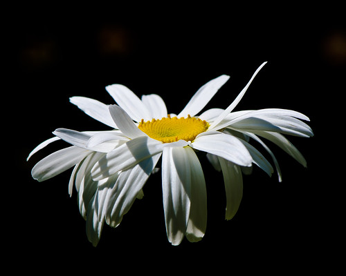 Floating Daisy by marsmith7