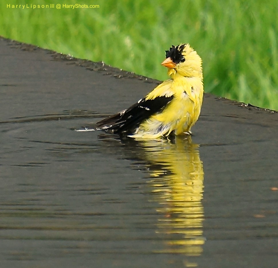 Wet Gold Finch