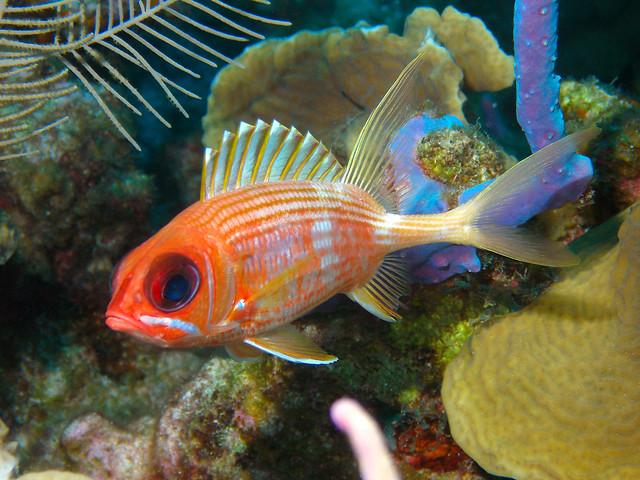 big eye squirrelfish flickr photo sharing On big eye squirrel fish