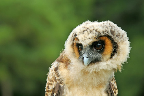 Juvenile Wood Owl