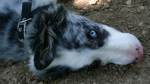 Blue-eyed border collie