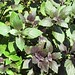 (19-3) purple basil seedlings
