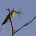 Blue-tailed Bee-eater (Colin Brown)