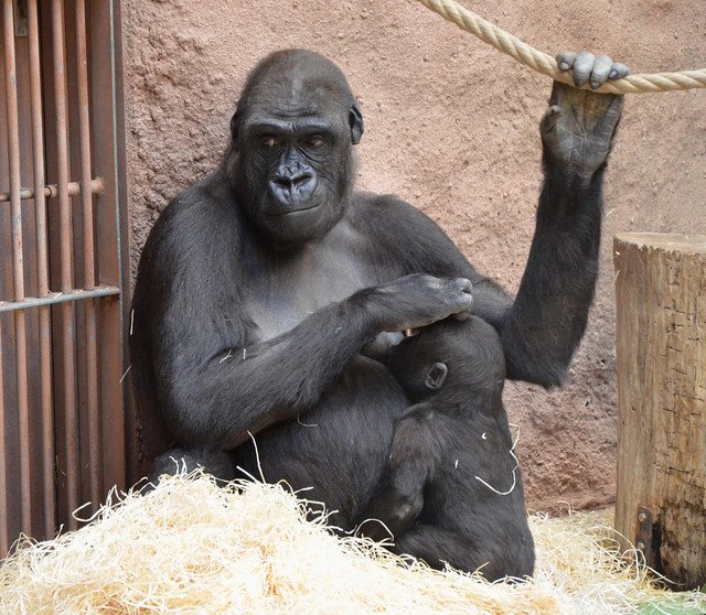 Finally a good message: Kijivu is pregnant again!