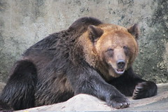animal, american black bear, mammal, grizzly bear, fauna, brown bear, bear, wildlife,