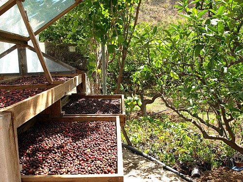 Agaete Coffee beans at finca de La Laja, Gran Canaria
