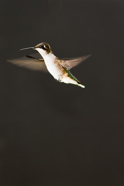 Hummingbird on Black