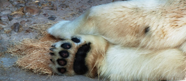 A close up shot of the giant paws of a polar bear.