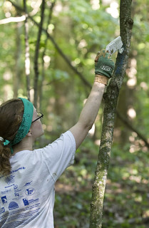 Emily Young '12 paints trail markers on trees at Green Oaks on Tuesday, Aug 7.