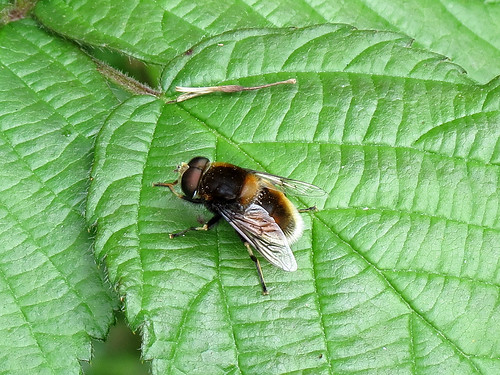 Hoverfly - Eristalis intricarius