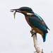Kingfisher & Fish