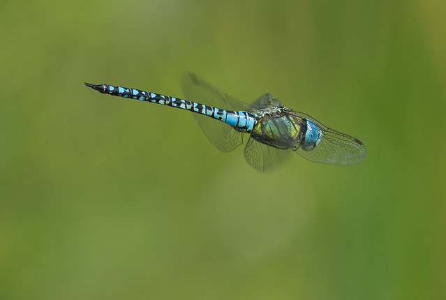 Southern migrant hawker Aeshna affinis 2