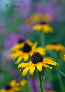 The Rudbeckias in August