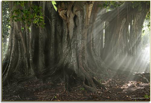professionalphotographer blending banyantrees floridaimages detailstudies photoworkshops phototours phototourguide jmwnaturesimagescom audiovisualphotopresentations natureandwildlifephotographer