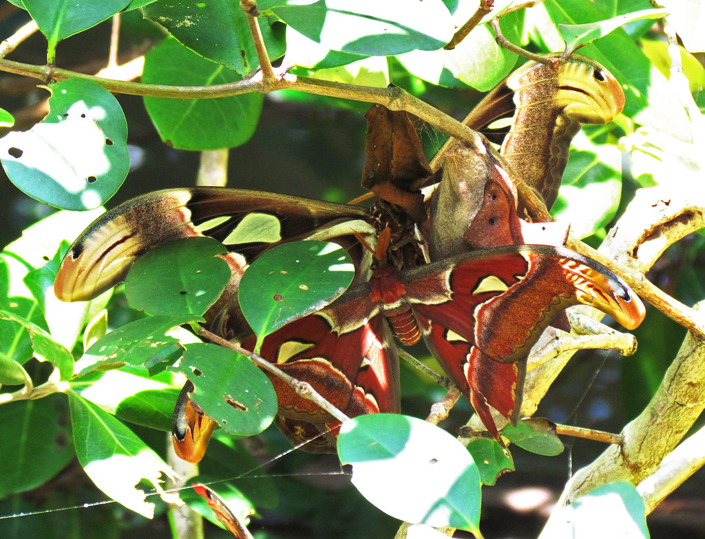 Atlas Moths A Cluster Of 3 Atlas Moth Attacus Atlas Pasi