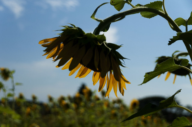 SUN FLOWER