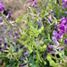 Ascending Milk Vetch by Paula Reedyk